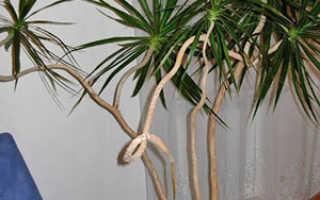Размножение драцены в домашних условиях