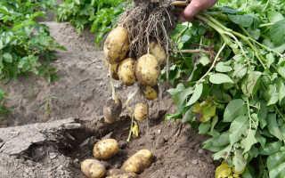 10 лучших ранних сортов картофеля