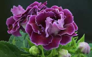 Комнатные цветы Глоксиния: виды с фото, посадка и уход