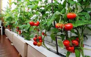 Как вырасти помидоры на балконе – пошаговая инструкция