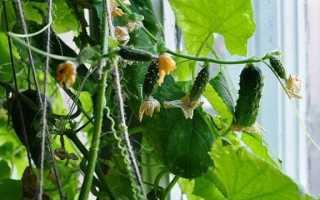 Как вырастить огурцы дома на подоконнике зимой: выбор сорта и технология