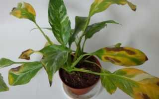 Спатифиллум: сохнут кончики листьев – что делать