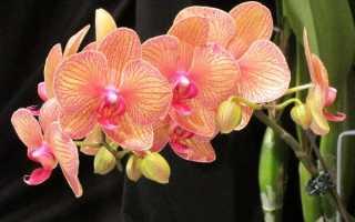 "Орхидея ""Фаленопсис"": фото, уход в домашних условиях"