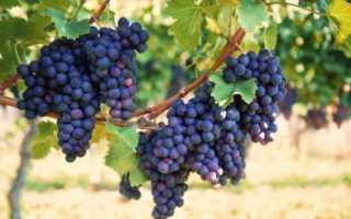 Виноград фиолетовый ранний: описание сорта, фото, посадка и уход