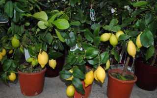 Цитрусовые комнатные растения – фото и описание, посадка и уход в домашних условиях