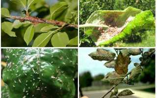 Как бороться с тлей на плодовых деревьях: народные средства и препараты