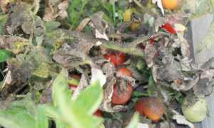 Как бороться с белокрылкой на томатах