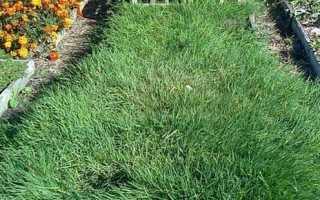 Полевица побегоносная как газонная трава: описание, норма высева, посадка и уход