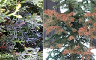 Болезни хвойных деревьев с фото и их лечение