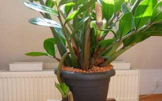 Грунт для замиокулькаса: какая земля лучше подойдет растению