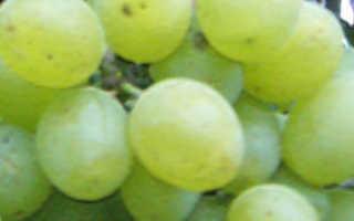 """Виноград """"Подарок Запорожью"""": описание сорта, фото, отзывы"""