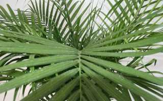 Бамбуковая пальма: уход в домашних условиях, фото