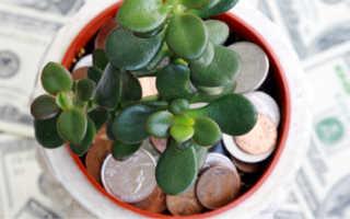 Как ухаживать за денежным деревом в горшке