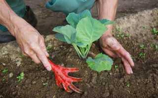 Когда окучивать капусту после высадки в грунт