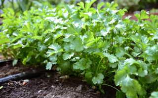 Как сажать кинзу семенами и ухаживать за ней в открытом грунте