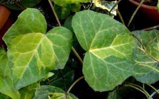 Ядовитые комнатные растения – фото и названия