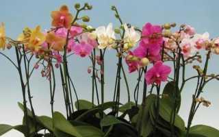 Отцвела Орхидея: что делать со стрелкой?