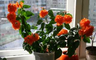 Кроссандра: посадка из семян, уход, размножение в домашних условиях