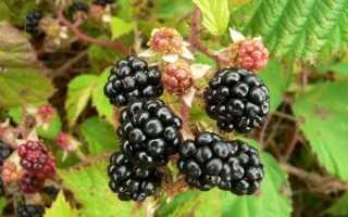 Ежевика садовая: посадка и уход осенью