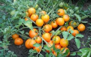 Детерминантный и индетерминантные сорта помидоров
