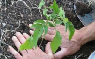 Как правильно ухаживать и выращивать томаты