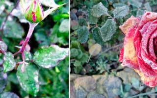 Мучнистая роса на розах: меры борьбы и профилактики