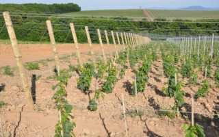 Правильный уход за виноградом летом