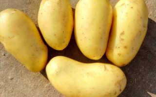 """Картофель """"Королева Анна"""": описание сорта, отзывы, посадка и уход"""
