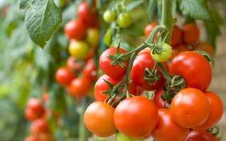 """Томат """"Клуша"""": характеристика и описание сорта, урожайность, отзывы, фото"""