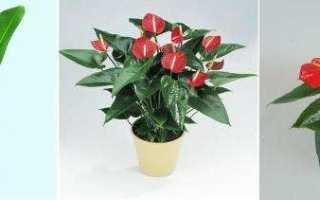 Красный Антуриум – цветок семейного счастья: фото, посадка и уход