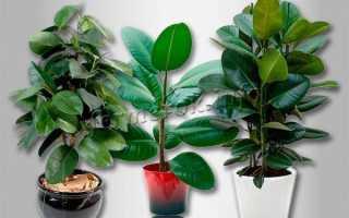 Почему опадают листья у фикуса и что делать
