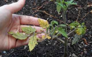 Почему желтеют листья у рассады томатов: что делать и как предотвратить в будущем