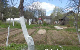Побелка садовых деревьев: состав раствора, инструкция