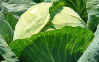 Голландские сорта капусты: виды с фото, посадка и уход