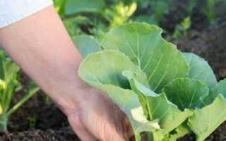 Как сажать капусту рассадой в открытый грунт
