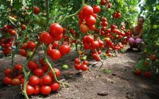 Томаты для теплицы: самые лучшие и урожайные сорта + отзывы