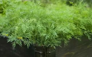 Как вырастить укроп дома на подоконнике