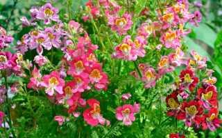 Схизантус: фото, выращивание из семян в домашних условиях