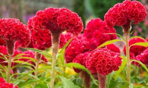 Целозия гребенчатая: выращивание из семян – подробная инструкция
