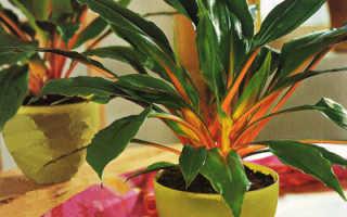 Хлорофитум оранжевый: уход в домашних условиях, фото