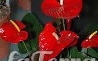 """Комнатный цветок """"Антуриум"""" – как за ним ухаживать"""