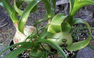 Индийский лук: выращивание, посадка и уход, фото
