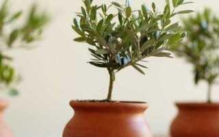 Оливковое дерево: выращивание и уход в домашних условиях