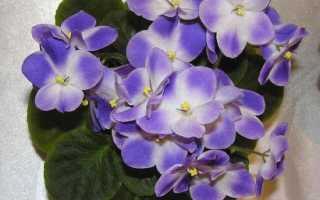 Сенполия: посадка, уход, выращивание, размножение в домашних условиях + фото