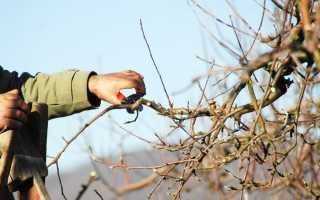 Чем замазать спил на яблоне и других плодовых деревьях