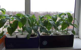 Как посадить перец: когда и как правильно сажать рассаду