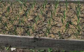 Зимний чеснок: посадка и уход в открытом грунте