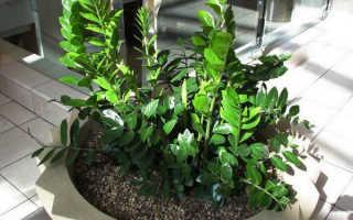 Замиокулькас: описание, фото, размножение и уход в домашних условиях