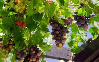 Чем подкормить виноград весной под корень