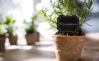 Розмарин: уход и выращивание дома в горшке